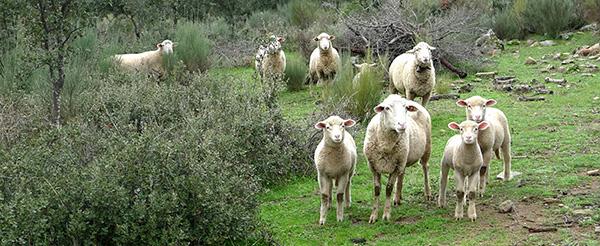 Corderos extremeños