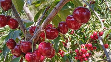 Recogida de cerezas en Extremadura