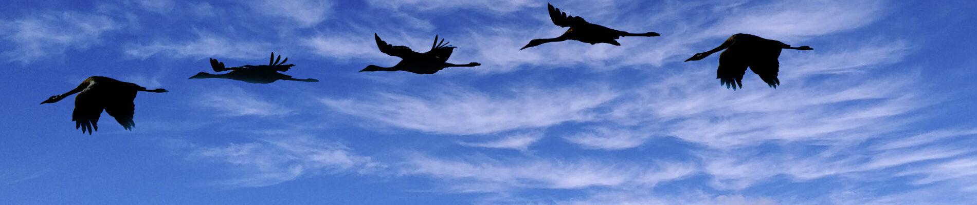 Grullas volando en Extremadura